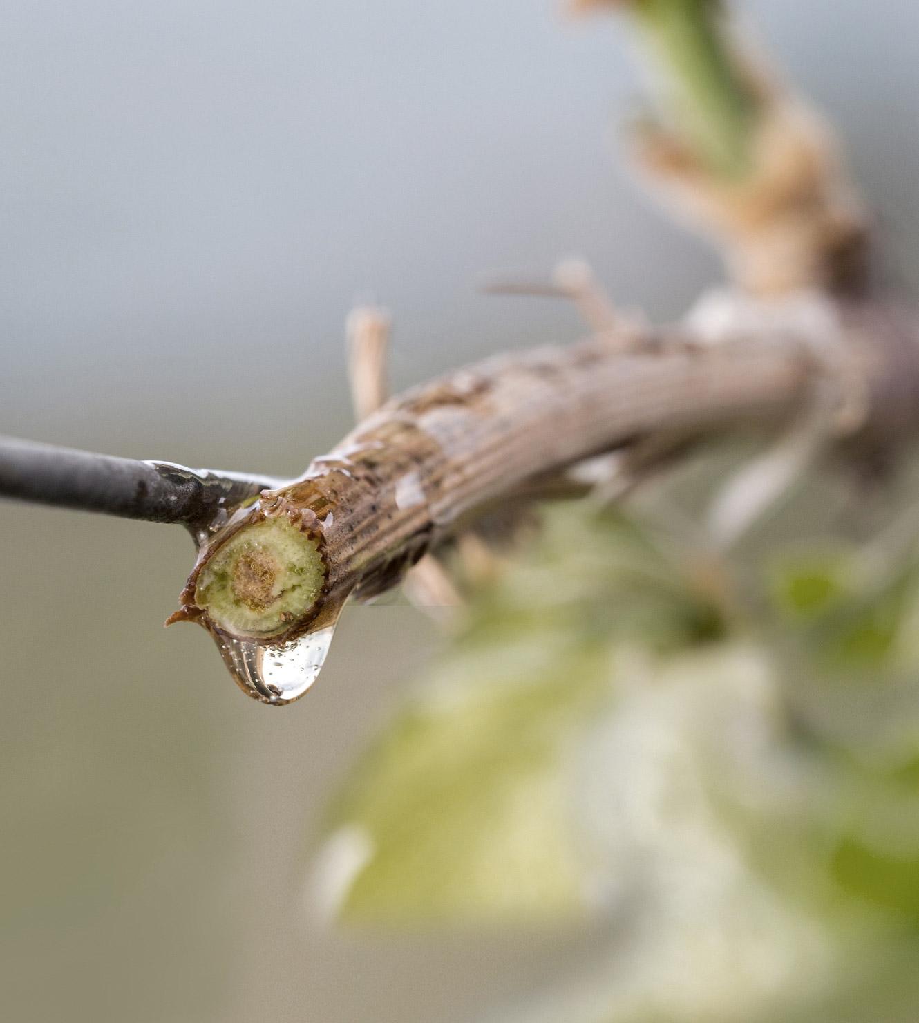 Trehs, 100% Natur, Rebwasser